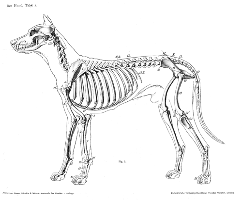 Dog_anatomy_lateral_skeleton_view